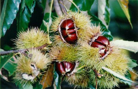 Flora en natuurbescherming in de Cevennen